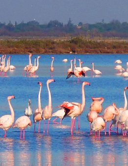Flamingos in the mediterranean