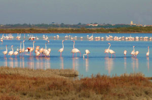 Flamingos in Montpellier: beautiful wildlife